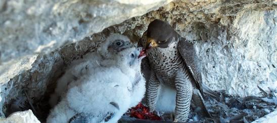 holcim 2021 pel pigeon srgb lores
